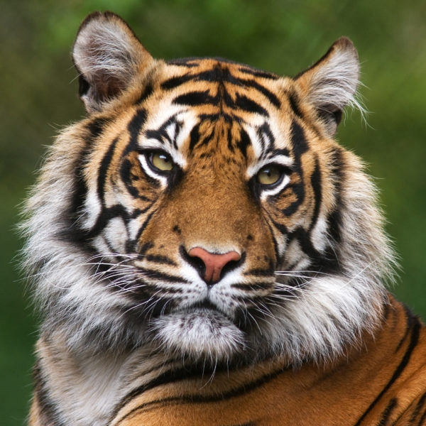 global-tiger-day-600x600_1519594948.jpg